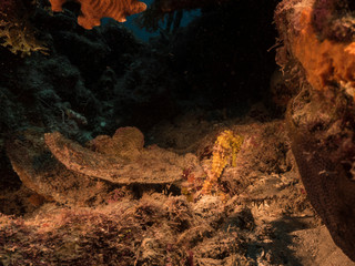 Seascape of coral reef in the Caribbean Sea around Curacao at dive site Playa Piskado with yellow Seahorse
