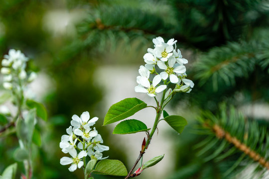 Close-up white blossoms of Amelanchier canadensis, serviceberry, shadberry or Juneberry tree on green blurred background. Selective focus. Nature concept for natural design