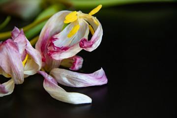 Tulpe Hintergrund
