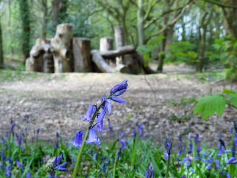 Close-up of bluebells with blurred natural play area background, Chorleywood Common, Hertfordshire
