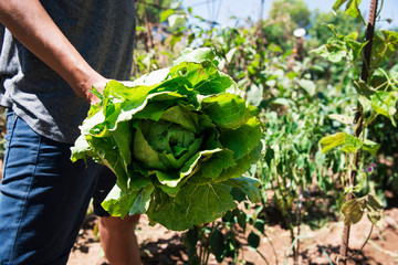 young man collecting a romaine lettuce.