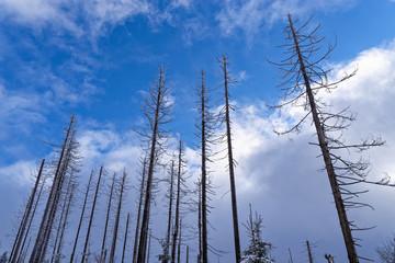 Bare pine trees against blue sky