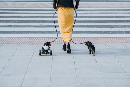 Back view of crop woman walking with pets and paralyzed handicapped Dachshund dog with wheelchair on street