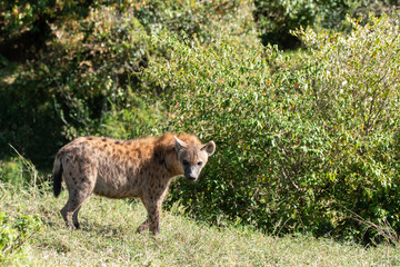 A spotted hyena near the den inside Masai Mara National Safari during a wildlife safari