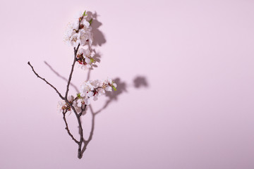Beautiful fresh cherry blossom branch on pink background. Creative design, space for text.
