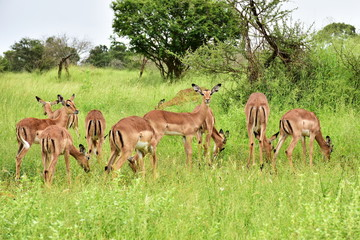 beautiful impala antelopes in african landscape,Kruger,South Africa Wall mural