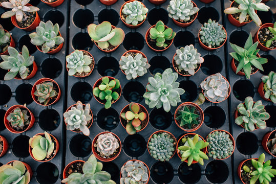 Tray of Succulent Plants at a Nursery