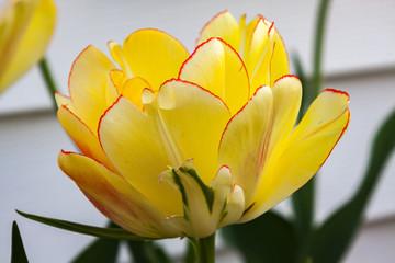 Akebono tulip