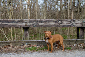 Red-Nose Pitbull on Bridge in the woods
