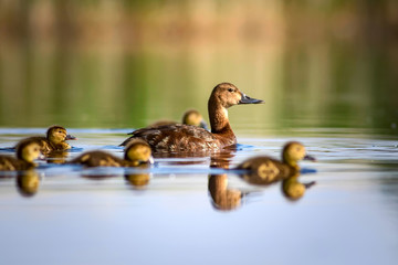 Cute duck family. Natural background. Bird: Common Pochard. Aythya ferina