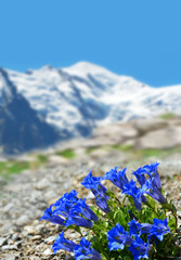 Blooming blue gentian (Gentiana acaulis) with mountain Mont Blanc in the background, Graian Alps, France, Europe.