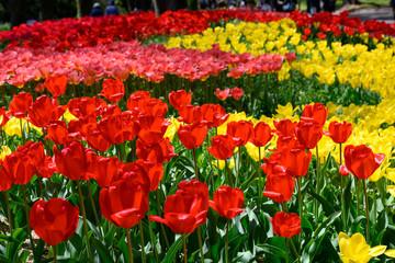 カラフル・満開・春・チューリップ