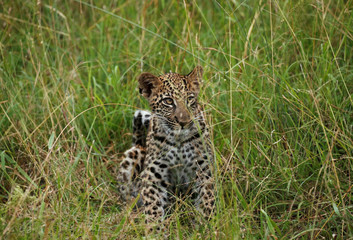 A leopard cub is seen at a game reserve adjacent to the world-renowned Kruger National Park in Mpumalanga province