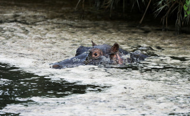 A Hippopotamus is pictured at a game reserve adjacent to the world-renowned Kruger National Park in Mpumalanga province
