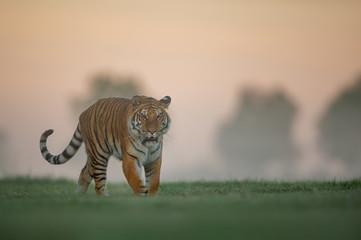 Tiger walking on green field on morning sunrise. Dangerous animal, taiga Russia. Panthera tigris altaica.