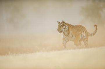 Siberian tiger runing on morning creamy sun light. Dangerous animal, Siberian tiger, Panthera tigris altaica.