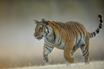 Amur tiger when hunting from closeup view. Dangerous animal, taiga Russia. Siberian tiger, Panthera tigris altaica.