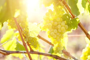 Ripe juicy white grapes on vine in the garden Fototapete