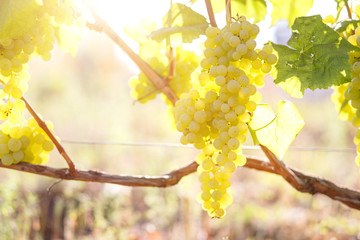 Ripe juicy white grapes on vine in the garden Wall mural