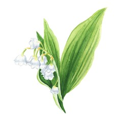 Hand drawn watercolor lily of the valley isolated on white background. Botanical illustration.