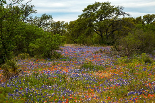 Field full of Bluebonnets and Indian Paintbrush in the Texas Hill Country, Texas
