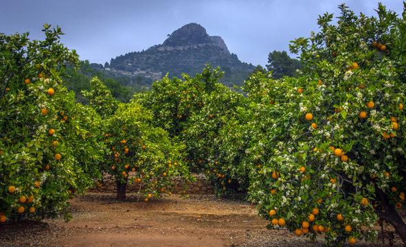 Valencian orange and orange blossoms. Spain. Spring harvest