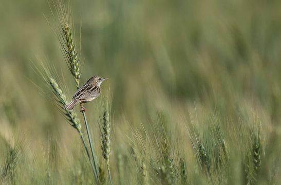 Zitting cisticola in Wheat field
