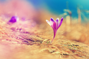 Crocus on the meadow. under sunlight, Spring sunny Landscape.