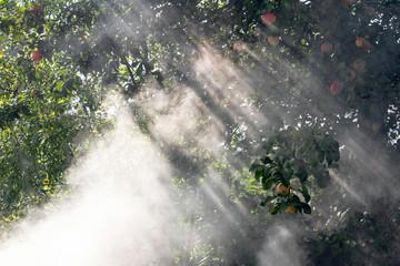 apple trees in smoke puffs, fumigating fruit trees to protect against caterpillars