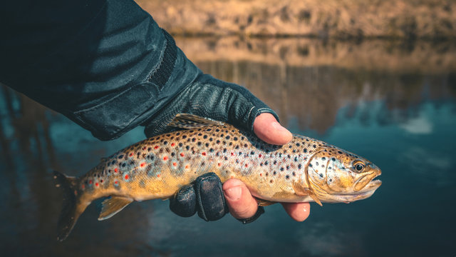Beautiful trout in the hands of a fisherman.