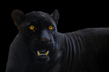 Fotobehang Panter black panther shot close up with black background