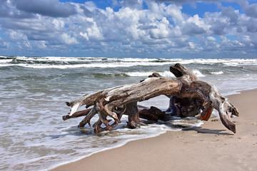 Fototapeta Korzeń, Morze Bałtyckie - Plaża - mierzeja wiślana obraz