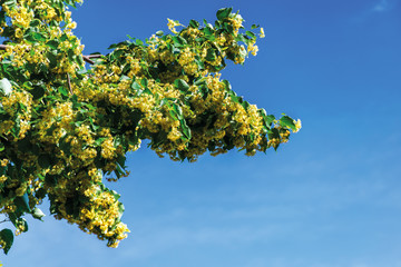 branches of blossoming linden on the blue sky background. beautiful nature scenery in summer.