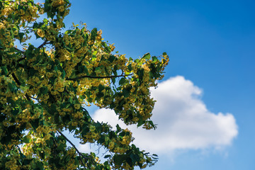 branches of blossoming linden on the blue sky background with fluffy cloud. beautiful nature scenery in summer.