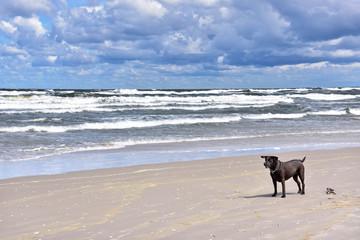 Pies nad morzem -  Morze Bałtyckie - Plaża