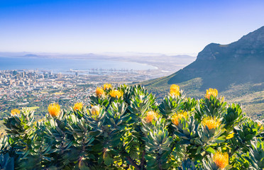View of a hiking path on Table Mountain surrounded by yellow pin cushion protea bushes (Leucospermum muirii) and green fynbos, Cape Town, South Africa Wall mural