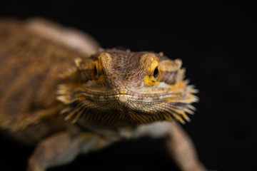 Bearded Dragon close up of face looking at camera