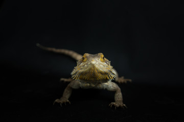 Bearded Dragon looking directly at camera on black background