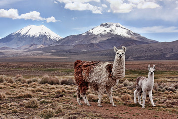Photo sur Plexiglas Lama A bably llama and it's mother look into the lens with a mountain in the background on the Bolivian Altiplano
