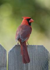 Fototapete - Female Cardinal