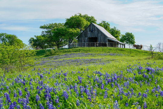 View of old barn with bluebonnet field in front near Texas Hill Country
