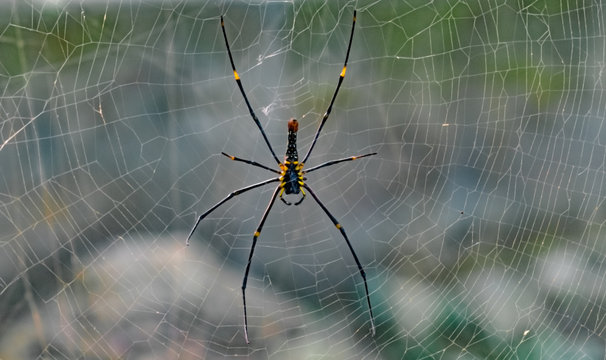 Scientific Name Nephila maculata or Nephila Pilipes and commonly known as Giant golden orb-web spider/weaver, is resting in its perfectly crafted web. This species are one of the biggest spiders.