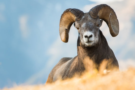 Bighorn Rams in the Rocky Mountains