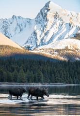 Canvas Prints Bison Moose in the Rocky Mountains