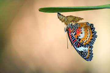 Leopard Lacewing Butterfly on Chrysalis in the garden.