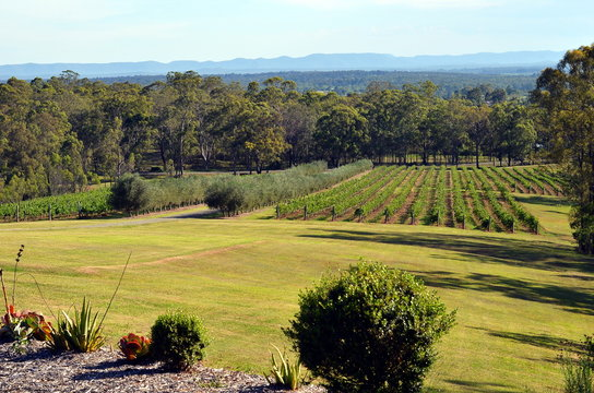 View in a Hunter Valley hills, winery fields and olive trees, Australia, New South Wales