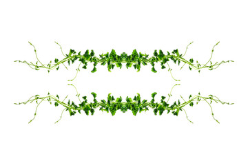 leaves twisted vines liana jungle plant isolated on white background with clipping path.