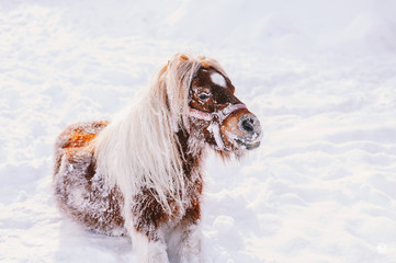 A beautiful brown little pony, having fun in a white white snow