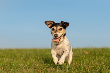 Jack Russell Terrier is running in front of blue sky