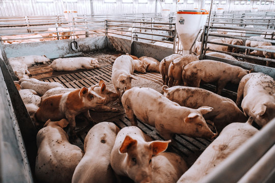 Lots of pigs in animal shed eating, standing and lying. Meat industry concept.